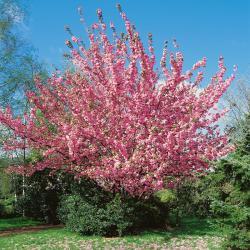 Japanische Nelkenkirsche - Prunus serrulata Kanzan auf Stamm, Höhe: 170-180 cm