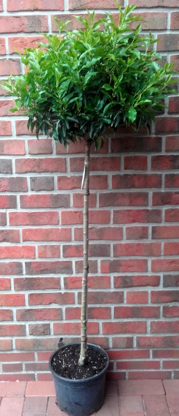 Lorbeerkirsche, Prunus lusitanica, Stämmchen, Höhe: 170-180 cm