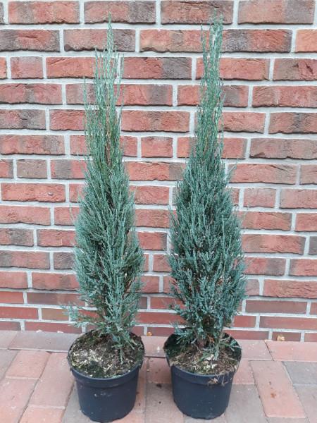 Blauer Raketenwacholder (Höhe: 120-130 cm), Juniperus scopulorum Blue Arrow