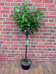 Kirschlorbeer Stämmchen, Prunus laurocerasus 'Mano' - Höhe: 170-180 cm