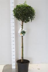 Lorbeerkirsche, Prunus lusitanica, Stämmchen, Höhe: 150-160 cm