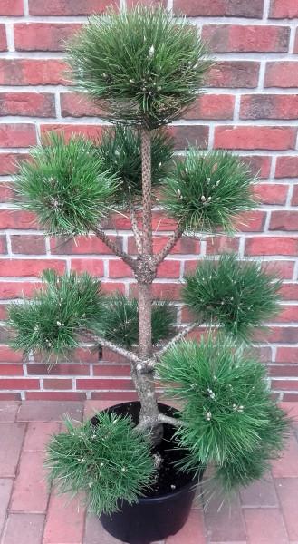 Kiefer - Gartenbonsai, Pinus sylvestris (Höhe: 130-140 cm)