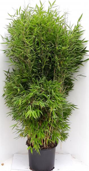 Fargesia murielae 'Jumbo' (Höhe: 160-170 cm), Gartenbambus, Schirmbambus
