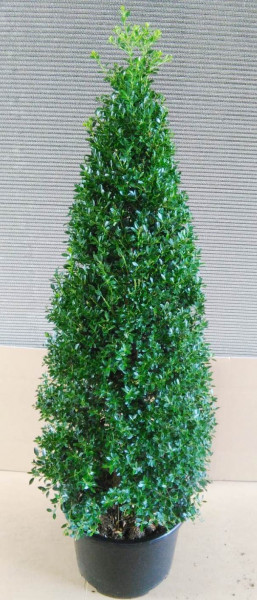 Ilex - Kegel - Ilex crenata 'Stokes' (Höhe: 60-70 cm) - Alternative zum Buchsbaum