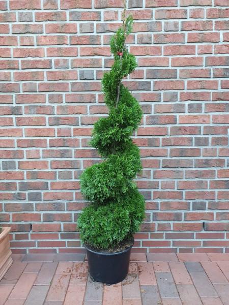 Edelthuja Spirale (Höhe: 170-180 cm) - Thuja occidentalis Smaragd