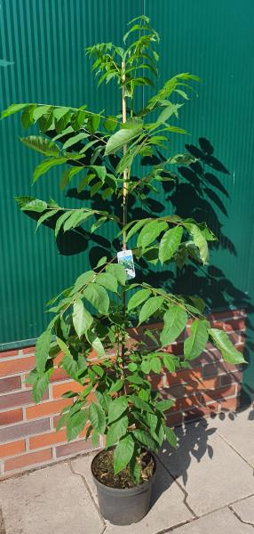 Tausendblütenstrauch (Höhe: 150-160 cm), Bienenbaum, Euodia hupehensis