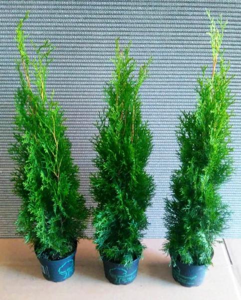 Lebensbaum, Thuja occidentalis Smaragd, Heckenpflanze (Höhe: 50-60 cm)