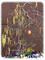 Korkenzieher-Haselnuss - Stämmchen, Corylus avellana Contorta